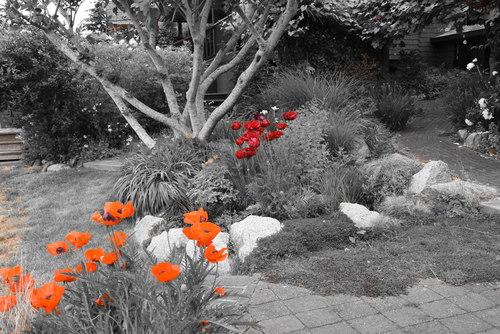 Poppy garden at 52 Clark Road, Gibsons & Area, Sunshine Coast