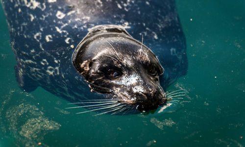 harbour-seal at 5786 Sunshine Falls Lane, Woodlands-Sunshine-Cascade, North Vancouver