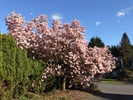 Front yard tree in Spring at 1284 W 23rd Street, Pemberton Heights, North Vancouver